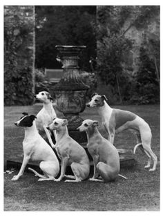 Whippets around a Fountain. I love old whippet pictures.