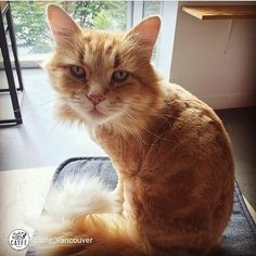 repost from @catfe_vancouver Thanks @gallantdesigner for sharing this purrfect photo of our little lion Matty - adoption #175!
