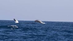 Fishermen from the Canberra Game Fishing Club encounter with a pod of rarely observed Arnoux's beaked whales off Narooma.