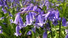 Scottish bluebells, a recurring theme in the story.