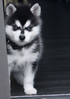 Want! Want! Want!! Alaskan Klee Kai Puppy size: Toy, black and white with blues eyes.