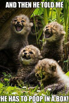 Baby Cheetahs vs. House Cats…