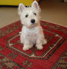 White Miracle of Switzerland Westies - stories of our offspring