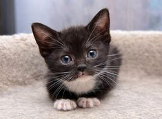 maggie foster kitten from tonis kitten rescue - a real cutie, hope she finds a forever home real soon.