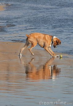 I want to take my Molly to a beach! Boxer dog.