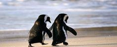 Did you know that when a male penguin falls in love with a female penguin, he searches the entire beach to find the perfect pebble to present to her? And when he finally finds it, he waddles over to her and places the pebble right in front of her feet. Kind of like a proposal.