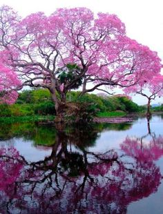 Blossoming Tree - Brazil | Full Dose