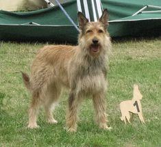 picardy sheepdog photo | BERGER DE PICARD | PICARDY SHEEPDOG/BERGER DE PICARD