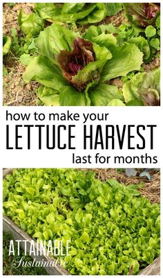 Continuous harvest lettuce This is a great method for harvesting lettuce for anyone who puts work into a garden might as well get the most bang for your buck right but it. Diy Garden, Edible Garden, Balcony Garden, Corner Garden, Garden Oasis, Garden Beds, Organic Vegetables, Growing Vegetables, Growing Tomatoes