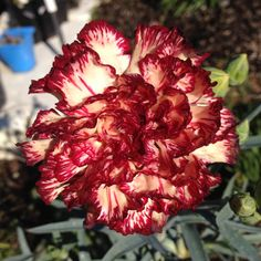 CARNATION strawberry ripple Yellow Carnations, Green Carnation, Soil Ph, Sandy Soil, Drought Tolerant, Cut Flowers, Green And Grey, Strawberry, Bloom