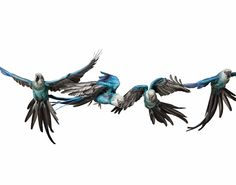Spix's Macaw  in Fight... now that is cool!!!     Picture: ANDREW ZUCKERMAN