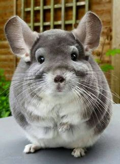 Chinchilla snapshot                                                                                                                                                     More