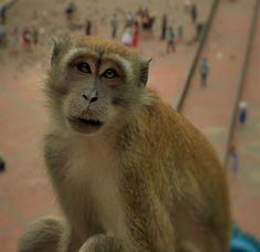 24 Batu Caves, Primates, Animals, Animales, Primate, Animaux, Animal, Animais