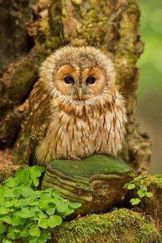 "ollebosse: ""  Ural Owl (Strix uralensis) from Scandinavia to Japan """