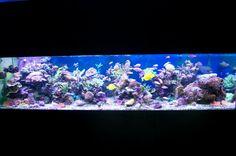 Darren's tank at Reef Secrets. I <3 Anthias....