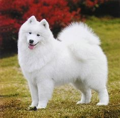 Majestic, Fluffy, and Happy Samoyed.  Just like my dog Tasha.  Loved that dog.
