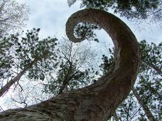 Looks Like a Tail of Dinosaur ... Pine Tree in a Park of WI..By-Bill Pavlor