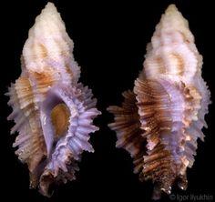 Pterynotus (Pterymarchia) barclayanus
