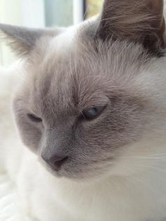 My friends British shorthair - lilac point Beautiful Cats, Simply Beautiful, Blue Point Cat, British Shorthair, Soft Summer, My Friend, Friends, Cat Breeds, Cute Cats