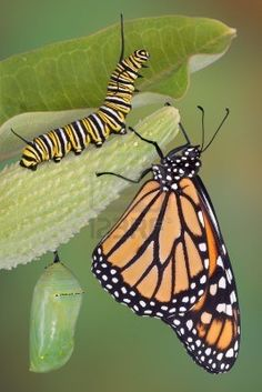 A monarch butterfly, caterpillar, and chrysalis ~ via 123RF