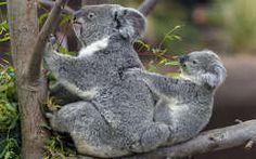 koala állatkölyök