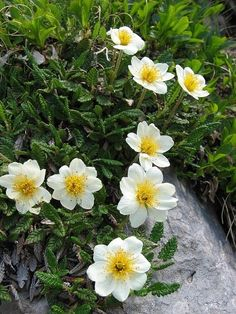 Holtasóley – Iceland's national flower, Mountain Avens (Dryas octopetala), is an arctic-alpine flowering plant in the family Rosaceae Alpine Garden, Alpine Plants, Ficus, Wild Flowers, Beautiful Flowers, Alpine Flowers, Rock Garden Plants, Gardening Zones, Outdoor Plants