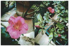 Azalea Bonsai , first flower 1th June