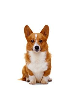 Pembroke Welsh Corgi, I had one of these. My dad bought it for me for my b-day, and someone stole him =(
