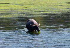 Water Buffalo, Li River, Guilin by mdintenfass, via Flickr