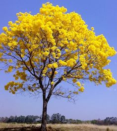 52 Super Ideas For Yellow Flowering Tree Bonsai Beautiful World, Beautiful Places, Beautiful Pictures, Trees And Shrubs, Flowering Trees, Colorful Trees, Tree Photography, Nature Tree, Mellow Yellow