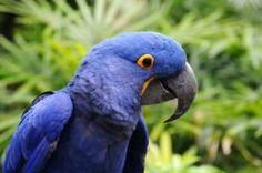 Animais em Extinção no Brasil - ARARA-AZUL Encontrada no norte do país, essa ave enfrenta problemas como o tráfico de animais, caça ilegal, desmatamento de seu habitat. Suas penas possuem grande valor no mercado internacional. (Espécie vulnerável)