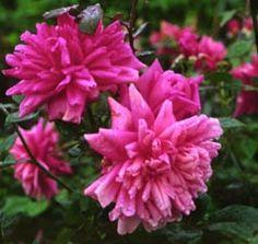 Marie dOrleans...repeat bloomer...good shrub rose