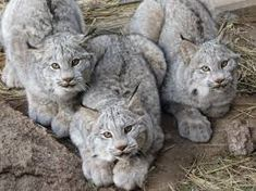 Image result for canadian lynx