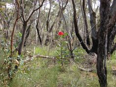 Waratah in flower in bushland, regenerating from fire in recent years, dominant above slower-growing understory plants Terra Australis, European Map, Australian Flowers, Unusual Animals, Animals Of The World, City Streets, Holy Spirit, Continents, Habitats