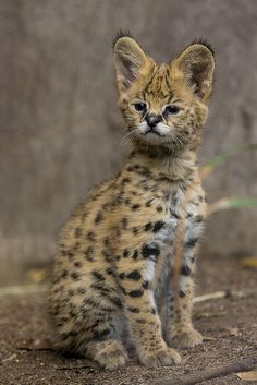 African Serval Kitten Born at San Diego Zoo