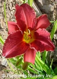 """Ruby Stella Daylily -- 3"""" Ruby-red flowers with yellow throats start blooming in late June and continue for the rest of the summer. A compact habit makes this daylily easy to add to any garden design."""