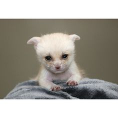 ZooBorns Fennec Fox ❤ liked on Polyvore featuring animals