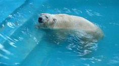 El oso Arturo, en graves condiciones de salud