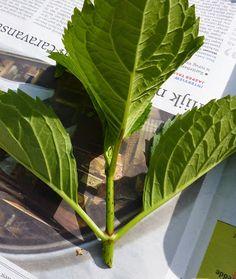 DE GULLE AARDE: hortensia stekken Hydrangea, Water Garden, Diy Flowers, Garden Inspiration, Gardening Tips, Flora, Plant Leaves, Home And Garden, Herbs