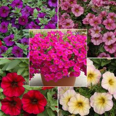 SuperCals combine the best features of petunia and calibrachoa to make gorgeous, easy to grow plants. Order the Petchoa SuperCal Plant Collection today from Harris Seeds. Planting Flowers, Flower Plants, Flower Seeds, Petunias, Growing Plants, Horticulture, Landscape Design, Gardening, Fairies