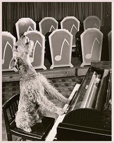 "Airedale Terrier playing the old Dorsey Brothers tune, ""My Dog Loves Your Dog."""