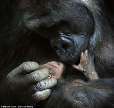 A mere 24 hours after becoming a mother for the first time, mountain gorilla Chelewa kisses and cradles her little girl.