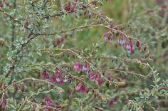 Hermannia trifurca.