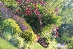 Kolorowy ogród na piasku - strona 584 - Forum ogrodnicze - Ogrodowisko Plants, Plant, Planets
