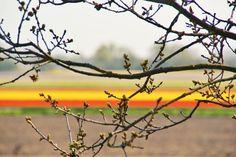 Bollenstreek tussen De Zilk en Noordwijkerhout.
