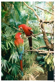 some aras (south america)