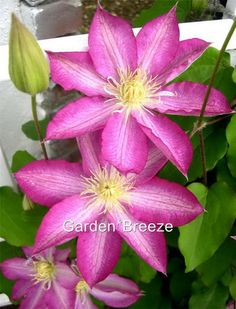 Clematis Pink Champagne by GardensBreeze on Etsy