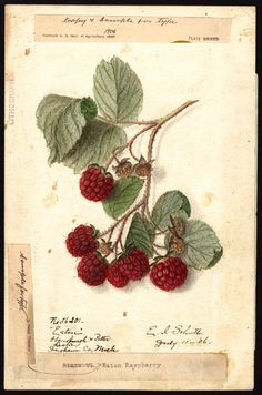 "heaveninawildflower:  Rubus (Eaton) 1906 by Ellen Isham Schutt (1873-1955).  ""U.S. Department of Agriculture Pomological Watercolor Collecti..."