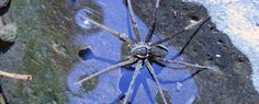"""A new species of spider, Dolomedes briangreenei, which likes to swim and catch fish, has been discovered in Queensland. It is named after physicist and World Science Festival co-founder, Brian..."