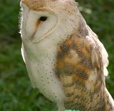 How To Build A Barn Owl Nesting Box